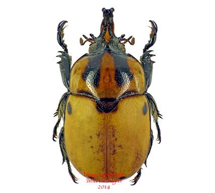 Ceroplophana modiglianii (Malaysia)