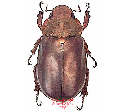 Spodochlamys cupreola (Costa Rica) A2