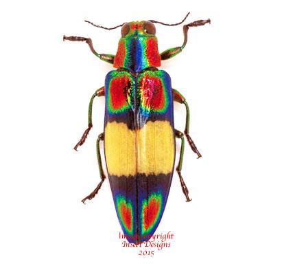 Chrysochroa ephippigera (THailand)