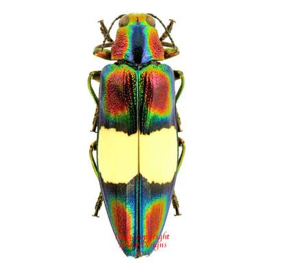 Chrysochroa toulgoeti (Malaysia)