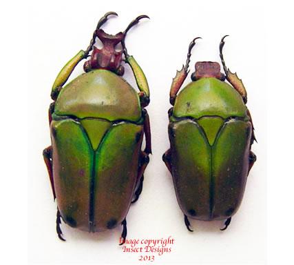 Coelorrhina babaulti (Kenya)