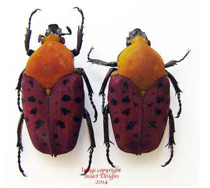Conradtia principalis (Tanzania)
