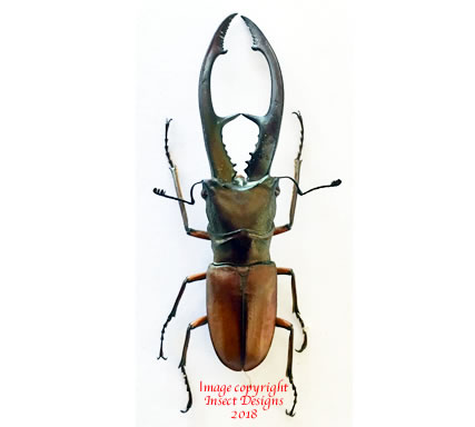 Cyclommatus tarandus (Kalimantan)