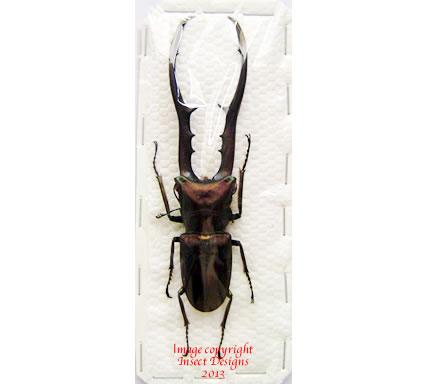 Cyclommatus metallifer (Sulawesi) 89mm+