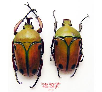 Eudicella euthalia euthalia (Tanzania)