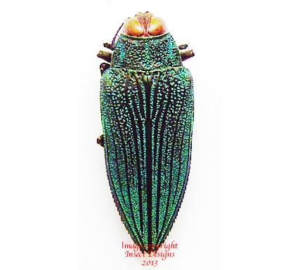 Evides triangularis (Tanzania)