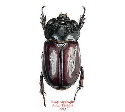 Heterogomphus boucieri (Peru)