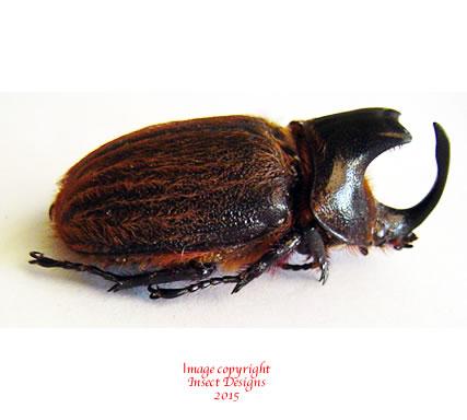 Heterogomphus schoenherri (Peru)