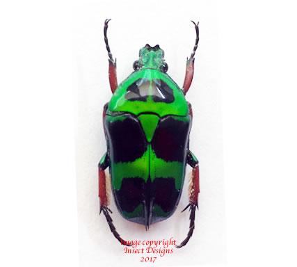 Heterrorhina macleayi (Philippines)