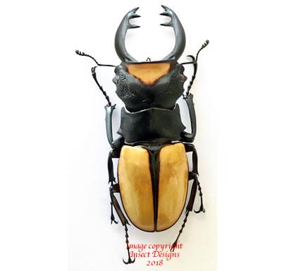 Odontolabis yasuokai (Sumatra) A2
