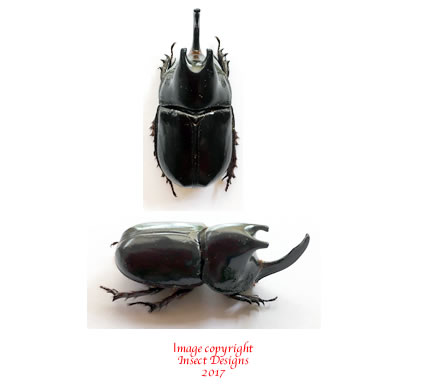 Megaceras morpheus (Peru)