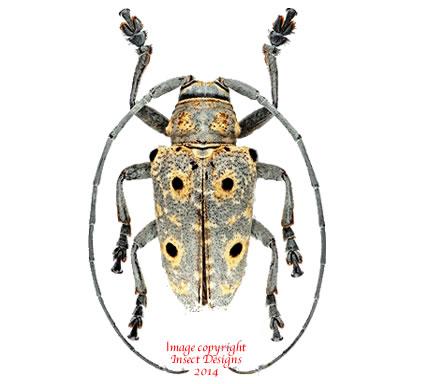 Megalofrea humeralis (Madagascar) A2