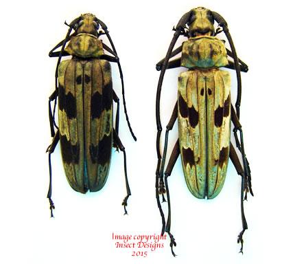 Megopis maculosa (Thailand)