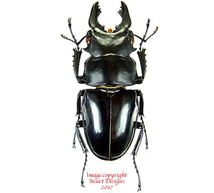 Odontolabis siva (Thailand)