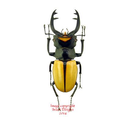 Odontolabis spectabilis (Sumatra)
