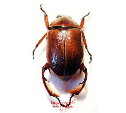 Paraheterosternus ludeckei (Mexico)