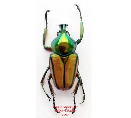 Phaedimus zebuanus (Philippines)