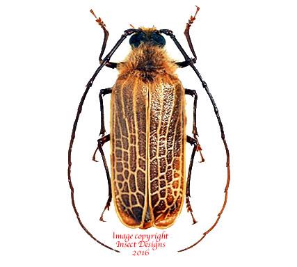 Prionoplus reticularis (New Zealand)