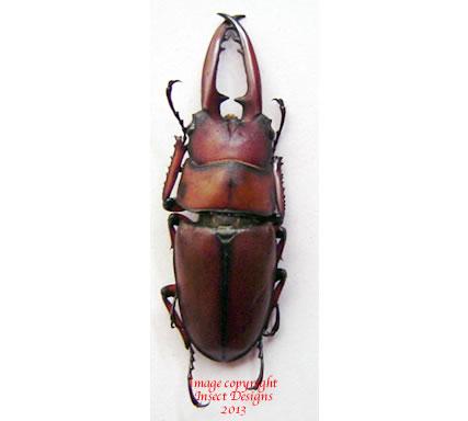 Prosopocoilus astacoides (China)