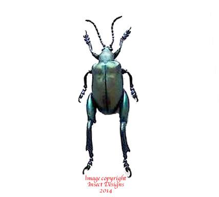 Sagra femoralis (Java)