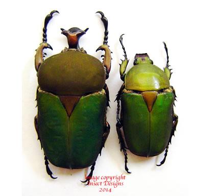 Stephanocrates dohertyi (Tanzania)