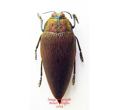 Steraspis speciosa (Tanzania)