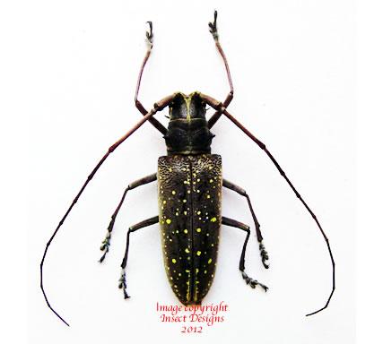 Taeniotes naevius (Ecuador)