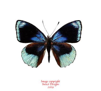 Callicore discrepans (Peru)