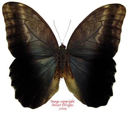 Caligo ilioneus (Colombia) A-