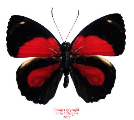 Callicore hytaspes - red (Peru)