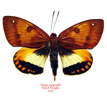 Castnia palatinus (Peru)