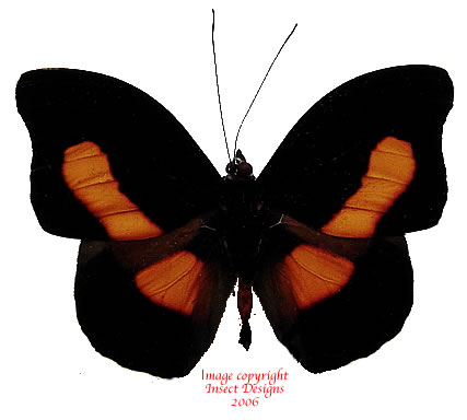 Catonephele acontius (Peru)