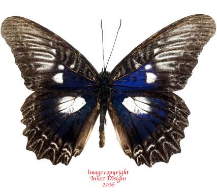 Cethosia myrina ribbei (Peleng) A-