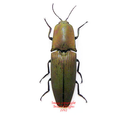 Chalcolepidius porcatus (Ecuador)