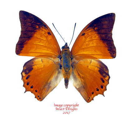 Charaxes affinis (Sulawesi) A-