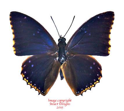 Charaxes bipunctatus (RCA)