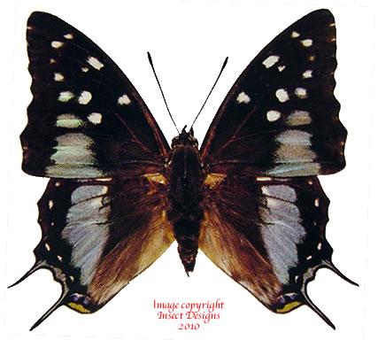 Charaxes cacuthis (Madagascar)