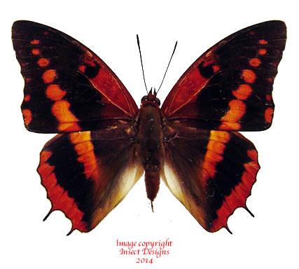 Charaxes cynthia (RCA) A2