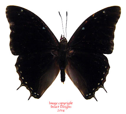 Charaxes etheocles (RCA)