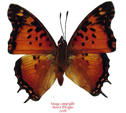 Charaxes jahlusa kenyensis (Tanzania) M: A2 F: A-