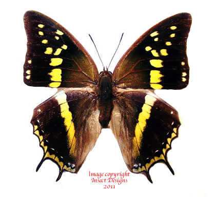 Charaxes solon orchomenus (Philippines)