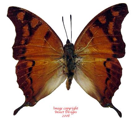 Charaxes zoolina DSF (Tanzania) A-