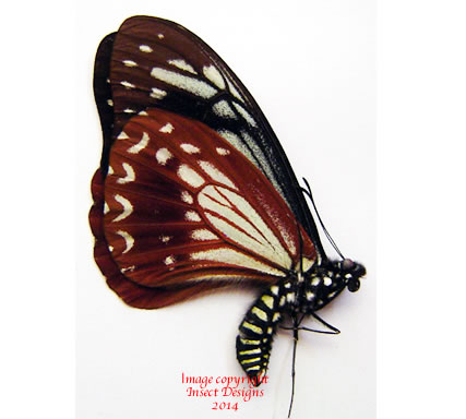 Chilasa agestor shirozui (Malaysia)