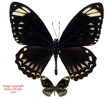 Chilasa clytia palephatus (Philippines) A2