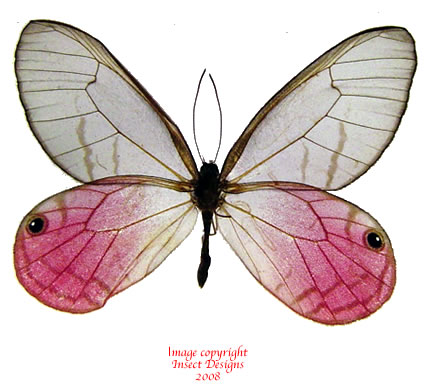Cithaerias aurorina (Peru) A1 and A-