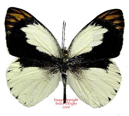Colotis eris (Tanzania) A-
