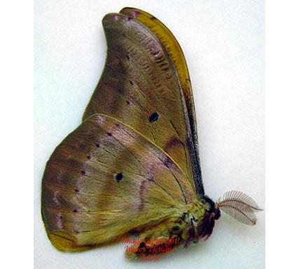 Copaxa syntheratoides - orange (Costa Rica)