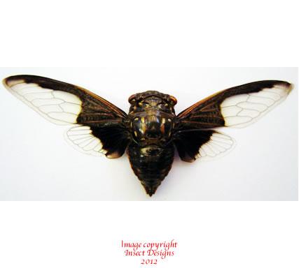 Cryptotympana aquilla (Thailand)