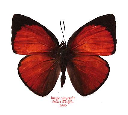 Curetis nesophila (Philippines) A-