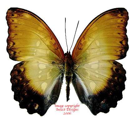 Cymothoe beckeri (RCA)